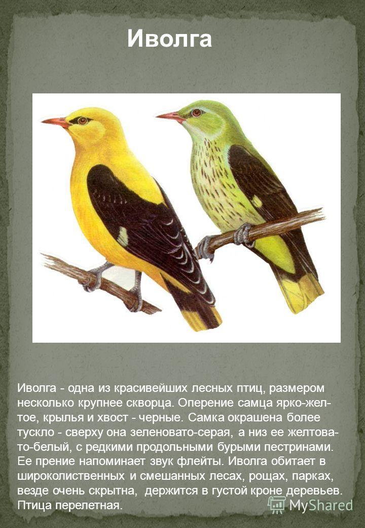 Иволга Иволга - одна из красивейших лесных птиц, размером несколько крупнее скворца. Оперение самца ярко-желтое, крылья и хвост - черные. Самка окрашена более тускло - сверху она зеленовато-серая, а низ ее желтова- то-белый, с редкими продольными бур