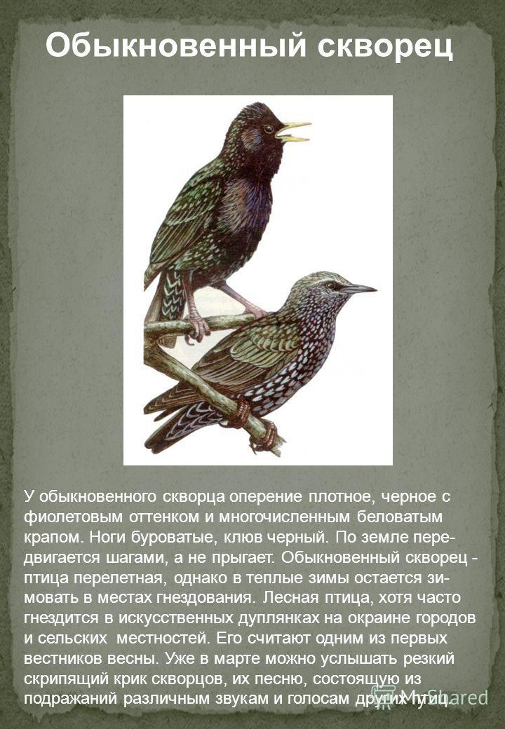 У обыкновенного скворца оперение плотное, черное с фиолетовым оттенком и многочисленным беловатым крапом. Ноги буроватые, клюв черный. По земле пере- двигается шагами, а не прыгает. Обыкновенный скворец - птица перелетная, однако в теплые зимы остает