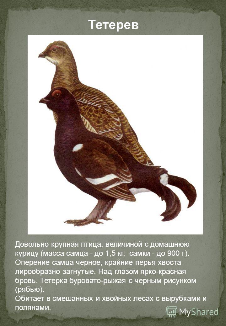 Довольно крупная птица, величиной с домашнюю курицу (масса самца - до 1,5 кг, самки - до 900 г). Оперение самца черное, крайние перья хвоста лирообразно загнутые. Над глазом ярко-красная бровь. Тетерка буровато-рыжая с черным рисунком (рябью). Обитае