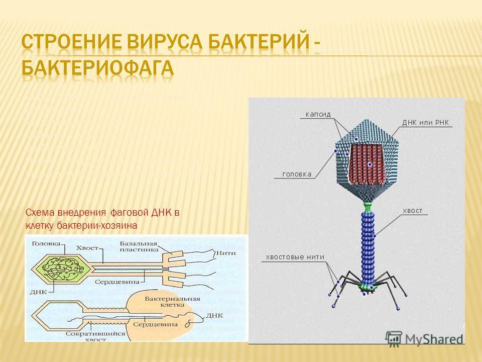 Вирус бактерий- бактериофаг (фаг) Бактериофаги – «пожиратели бактерий» Открыты в 1917 году одновременно во Франции и Англии Используют при лечении заболеваний вызываемых некоторыми бактериями. Схема внедрения фаговой ДНК в клетку бактерии-хозяина