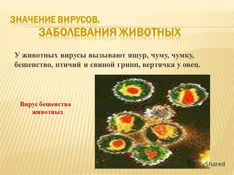 У животных вирусы вызывают ящур, чуму, чумку, бешенство, птичий и свиной грипп, вертячка у овец. Вирус бешенства животных