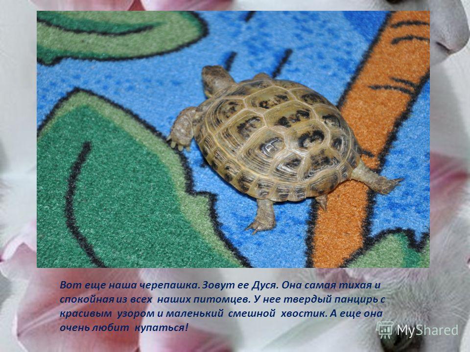 Вот еще наша черепашка. Зовут ее Дуся. Она самая тихая и спокойная из всех наших питомцев. У нее твердый панцирь с красивым узором и маленький смешной хвостик. А еще она очень любит купаться!