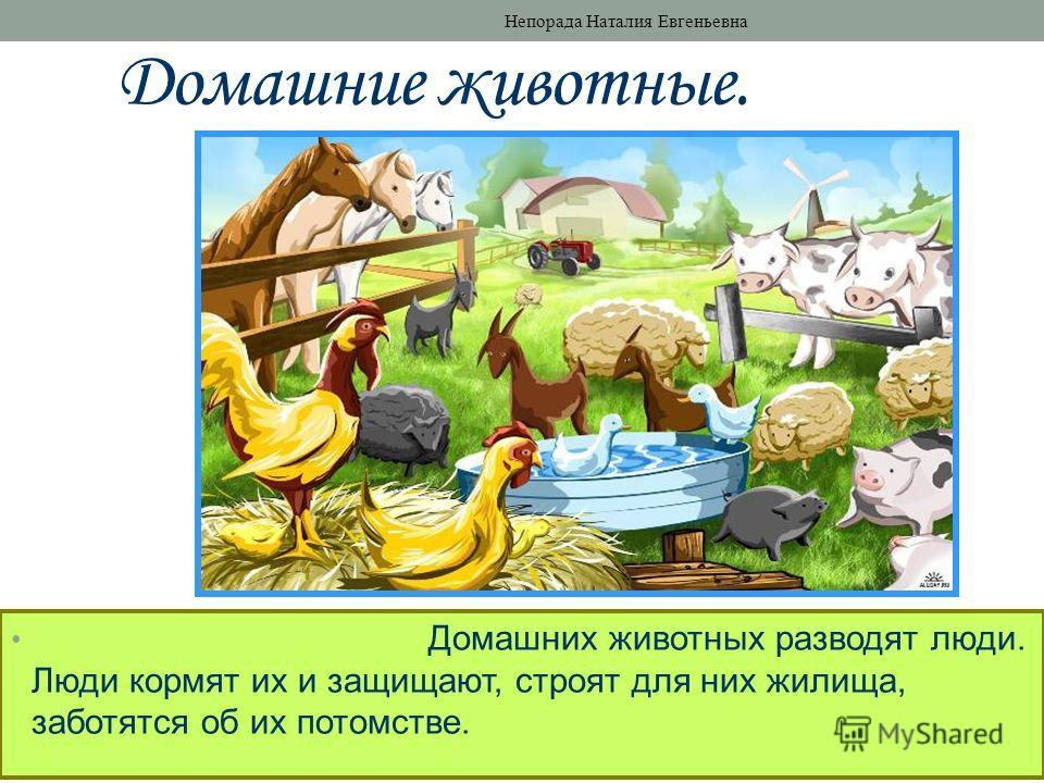 Домашние животные. Домашних животных разводят люди. Люди кормят их и защищают, строят для них жилища, заботятся об их потомстве. Непорада Наталия Евгеньевна