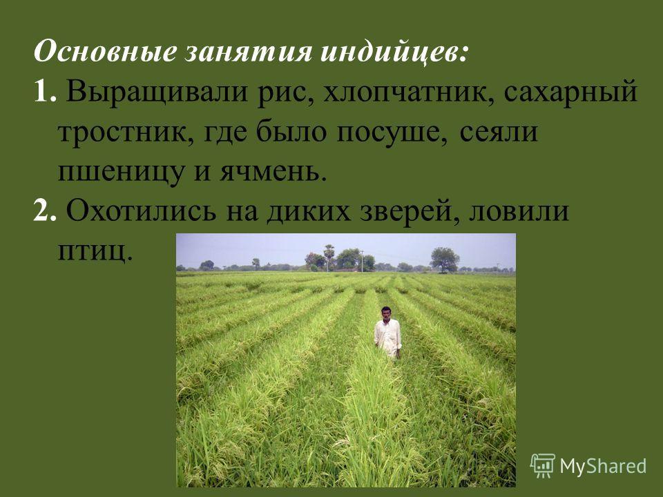 Основные занятия индийцев: 1. Выращивали рис, хлопчатник, сахарный тростник, где было посуше, сеяли пшеницу и ячмень. 2. Охотились на диких зверей, ловили птиц.