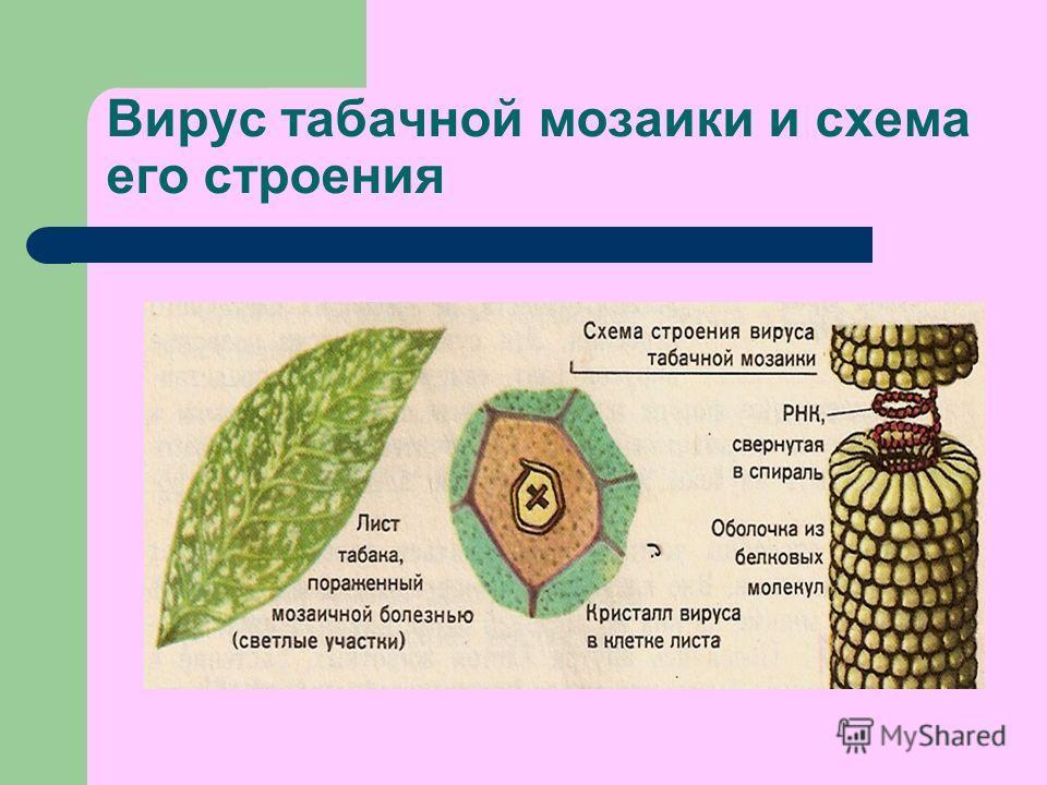 Вирус табачной мозаики и схема его строения