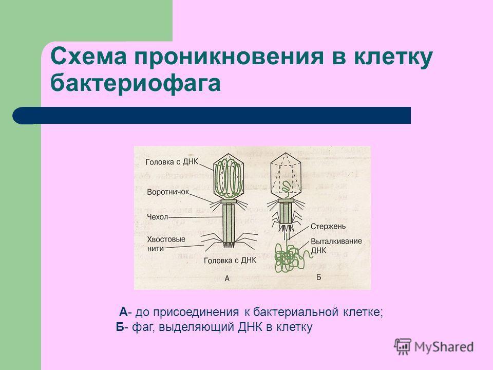 Схема проникновения в клетку бактериофага А- до присоединения к бактериальной клетке; Б- фаг, выделяющий ДНК в клетку