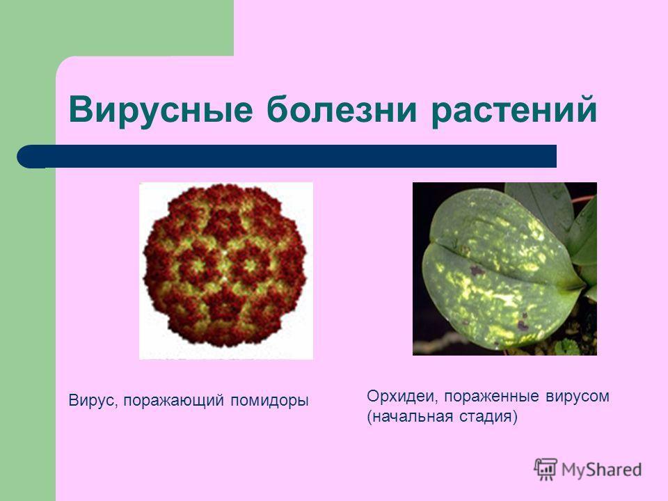 Вирусные болезни растений Вирус, поражающий помидоры Орхидеи, пораженные вирусом (начальная стадия)