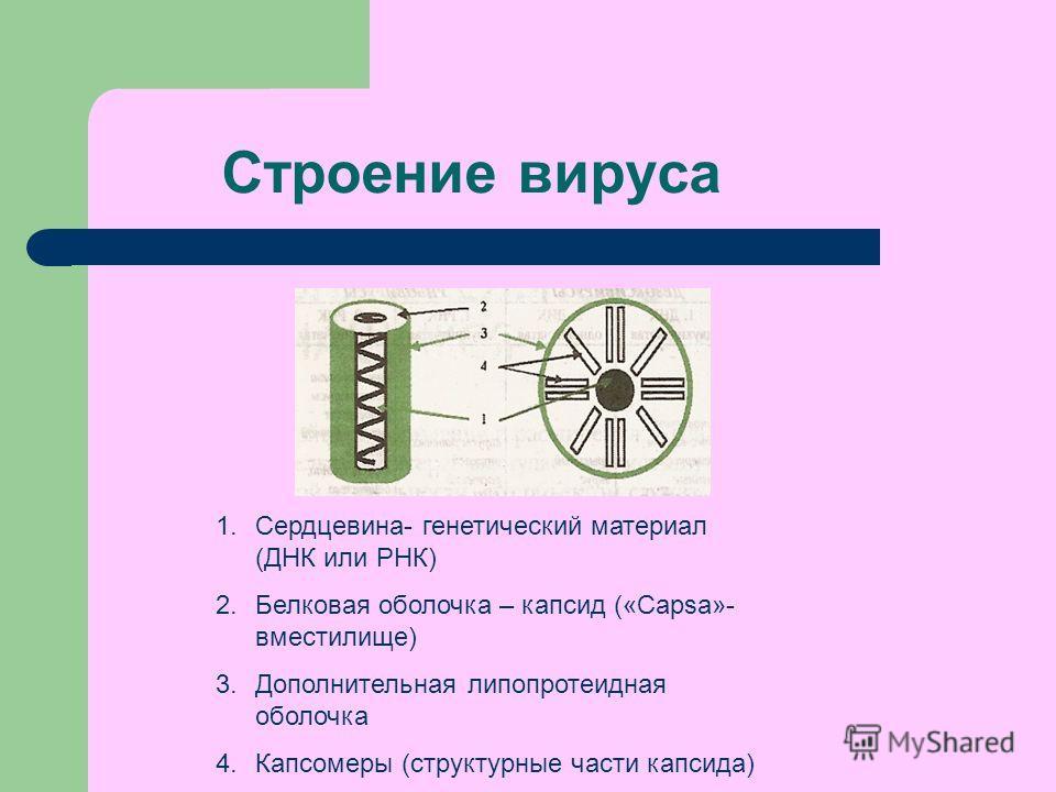 Строение вируса 1.Сердцевина- генетический материал (ДНК или РНК) 2. Белковая оболочка – капсид («Capsa»- вместилище) 3. Дополнительная липопротеидная оболочка 4. Капсомеры (структурные части капсида)