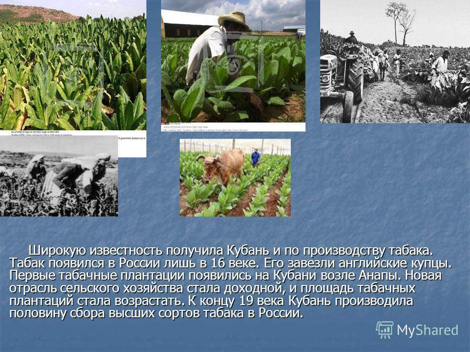 Широкую известность получила Кубань и по производству табака. Табак появился в России лишь в 16 веке. Его завезли английские купцы. Первые табачные плантации появились на Кубани возле Анапы. Новая отрасль сельского хозяйства стала доходной, и площадь