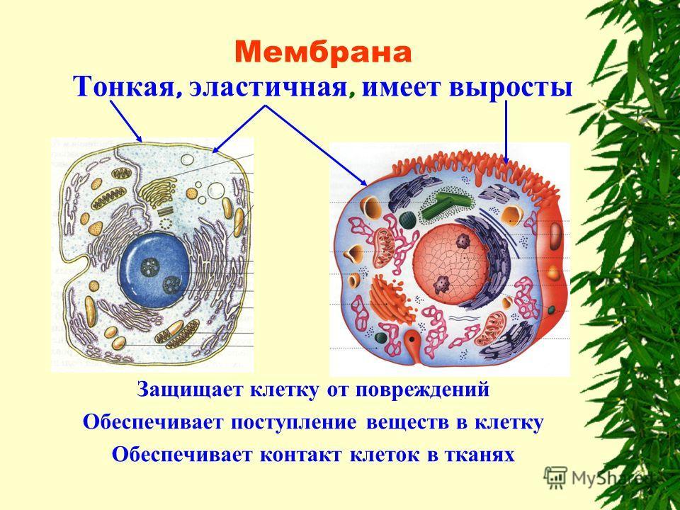 Мембрана Тонкая, эластичная, имеет выросты Защищает клетку от повреждений Обеспечивает поступление веществ в клетку Обеспечивает контакт клеток в тканях