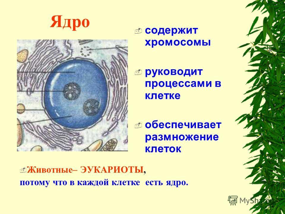 Ядро содержит хромосомы руководит процессами в клетке обеспечивает размножение клеток Животные– ЭУКАРИОТЫ, потому что в каждой клетке есть ядро.
