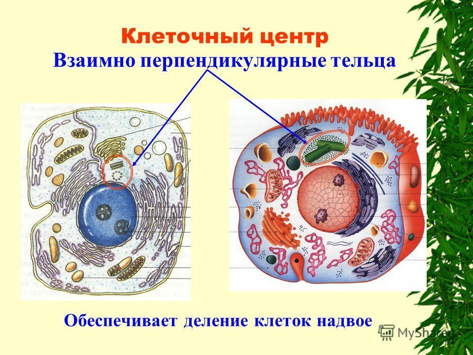 Клеточный центр Взаимно перпендикулярные тельца Обеспечивает деление клеток надвое