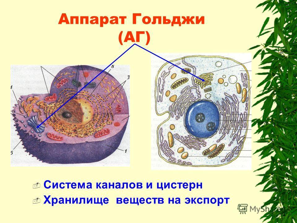 Аппарат Гольджи (АГ) Система каналов и цистерн Хранилище веществ на экспорт