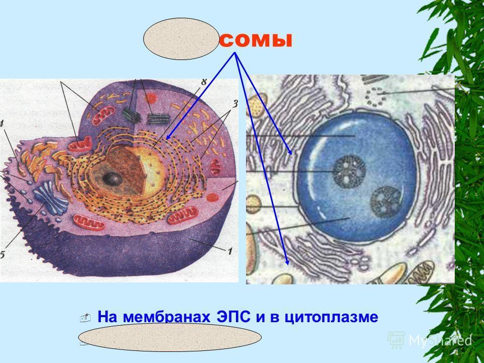 Рибосомы На мембранах ЭПС и в цитоплазме Синтез белков
