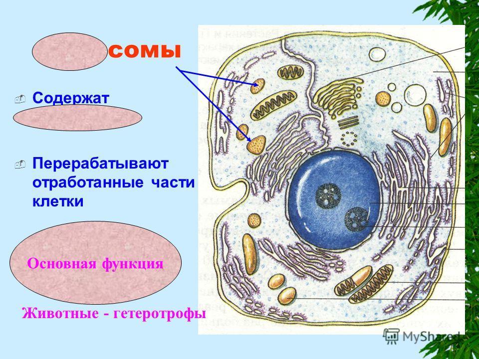 Лизосомы Содержат ферменты Перерабатывают отработанные части клетки Переваривают питательные вещества Животные - гетеротрофы Основная функция