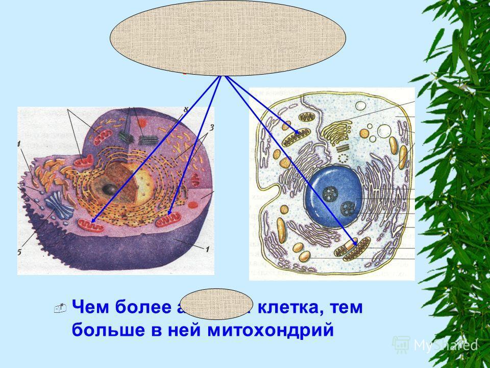 Митохондрии (МТХ) Чем более активна клетка, тем больше в ней митохондрий
