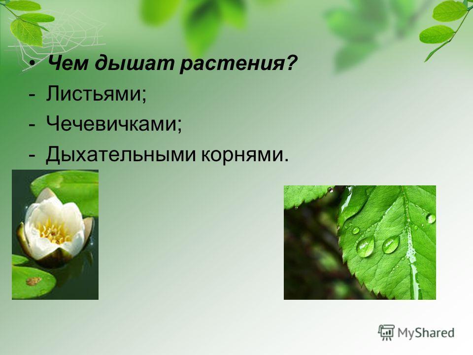 Чем дышат растения? -Листьями; -Чечевичками; -Дыхательными корнями.