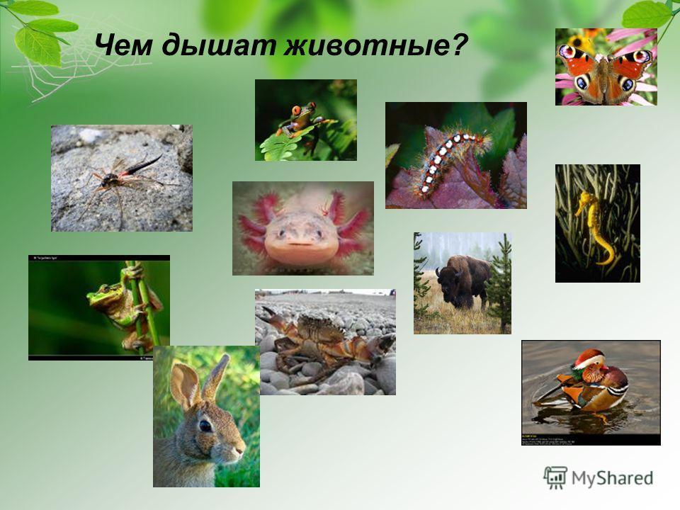 Чем дышат животные?