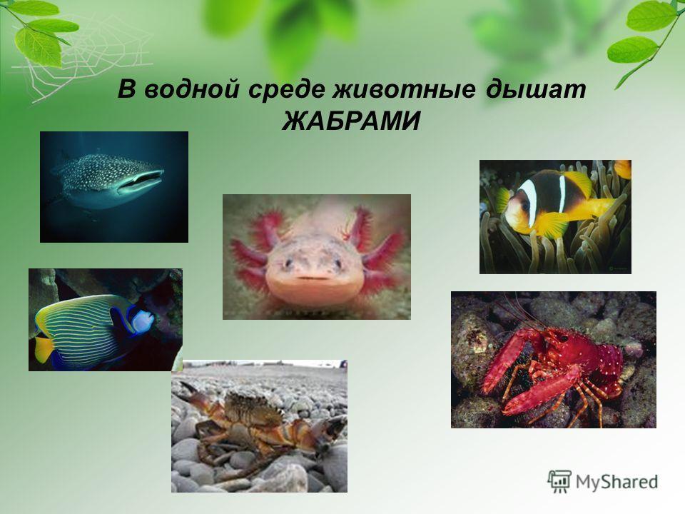 В водной среде животные дышат ЖАБРАМИ