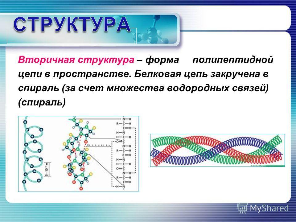 Вторичная структура – форма полипептидной цепи в пространстве. Белковая цепь закручена в спираль (за счет множества водородных связей) (спираль)