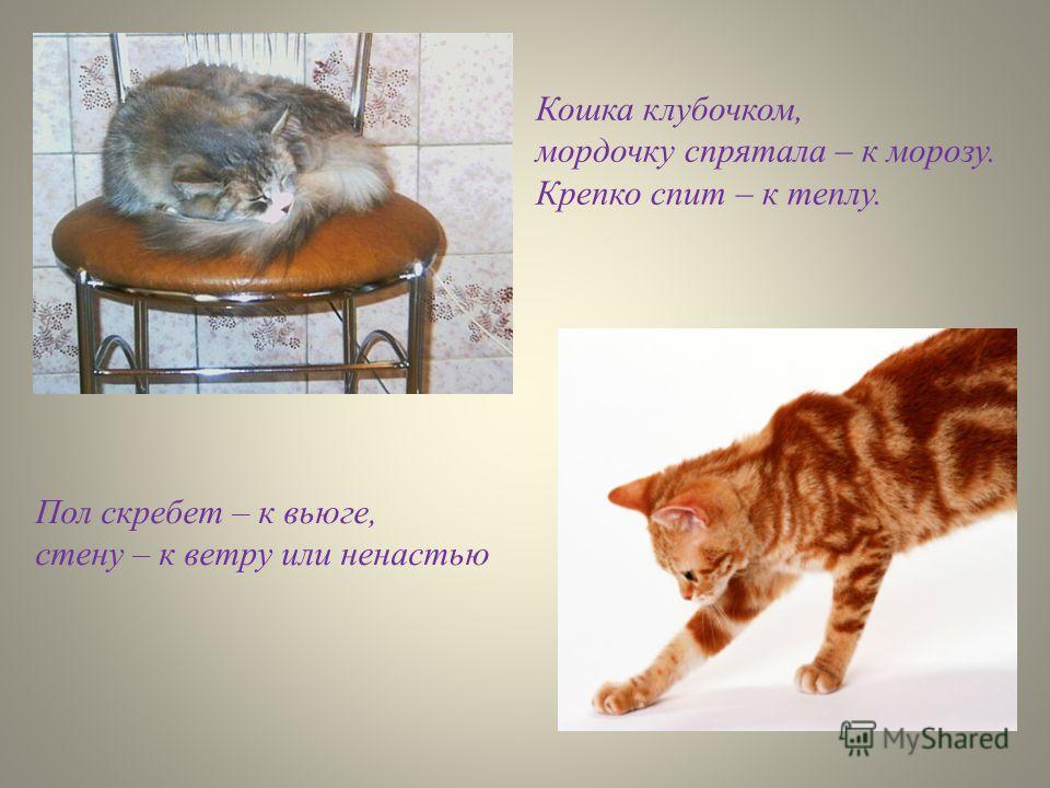 Кошка клубочком, мордочку спрятала – к морозу. Крепко спит – к теплу. Пол скребет – к вьюге, стену – к ветру или ненастью