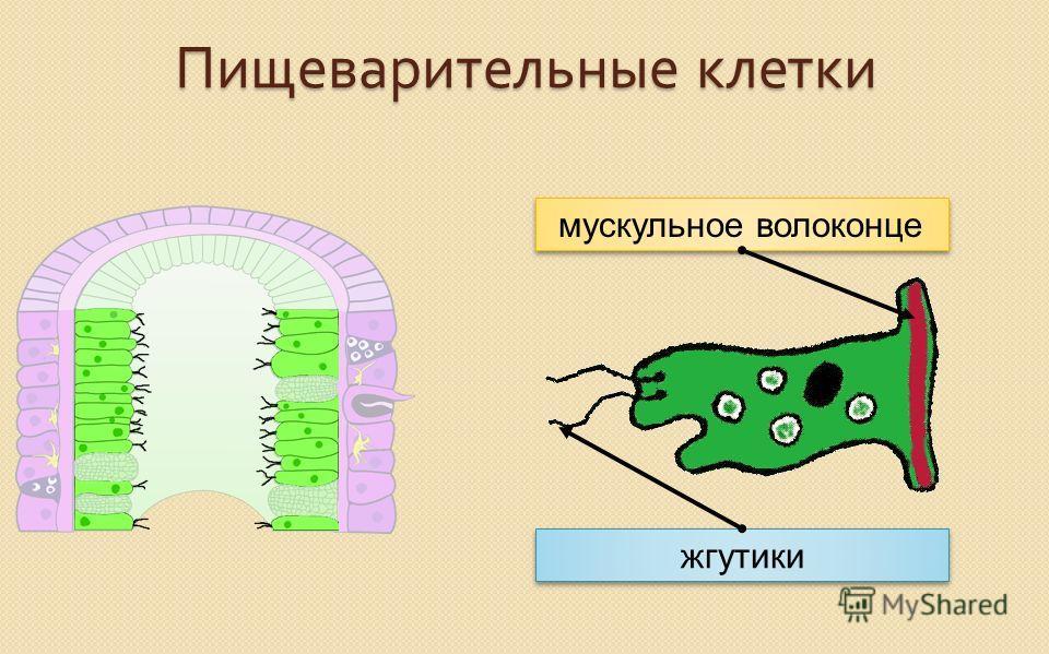 Пищеварительные клетки мускульное волоконце жгутики