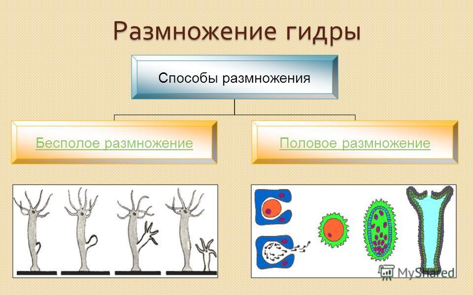 Размножение гидры Способы размножения Бесполое размножение Половое размножение