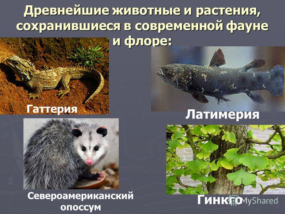 Древнейшие животные и растения, сохранившиеся в современной фауне и флоре: Гаттерия Латимерия Гинкго Североамериканский опоссум
