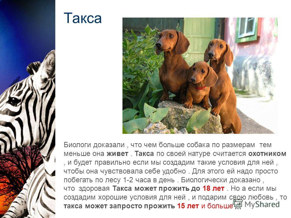Такса Биологи доказали, что чем больше собака по размерам тем меньше она живет. Такса по своей натуре считается охотником, и будет правильно если мы создадим такие условия для ней, чтобы она чувствовала себе удобно. Для этого ей надо просто побегать