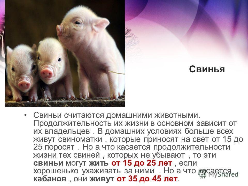 Свиньи считаются домашними животными. Продолжительность их жизни в основном зависит от их владельцев. В домашних условиях больше всех живут свиноматки, которые приносят на свет от 15 до 25 поросят. Но а что касается продолжительности жизни тех свиней