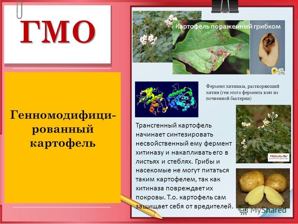 ГМО Генномодифици- рованный картофель Картофель пораженный грибком Фермент хитиназа, растворяющий хитин (ген этого фермента взят из почвенной бактерии) Трансгенный картофель начинает синтезировать несвойственный ему фермент хитиназу и накапливать его