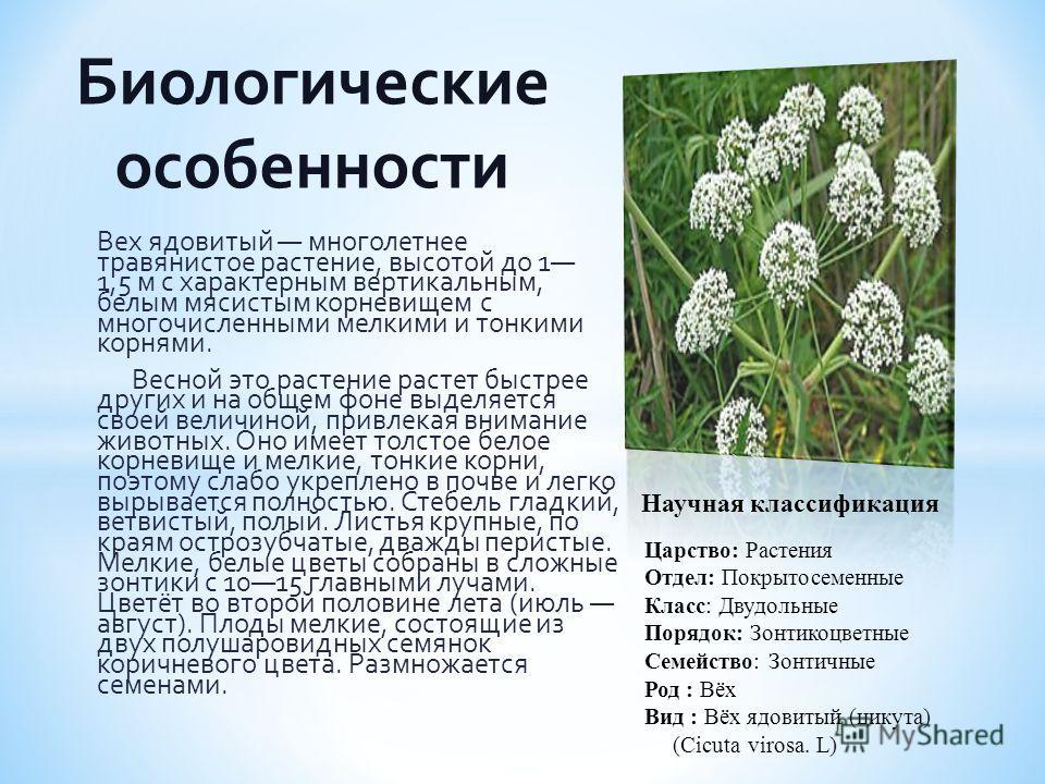 Вех ядовитый многолетнее травянистое растение, высотой до 1 1,5 м с характерным вертикальным, белым мясистым корневищем с многочисленными мелкими и тонкими корнями. Весной это растение растет быстрее других и на общем фоне выделяется своей величиной,
