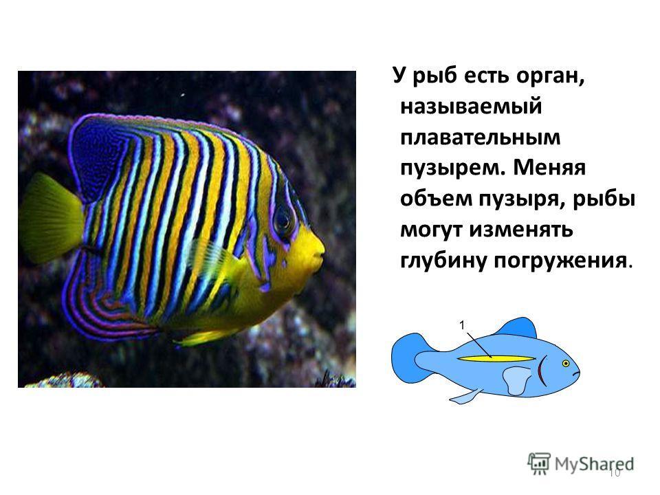 У рыб есть орган, называемый плавательным пузырем. Меняя объем пузыря, рыбы могут изменять глубину погружения. 10