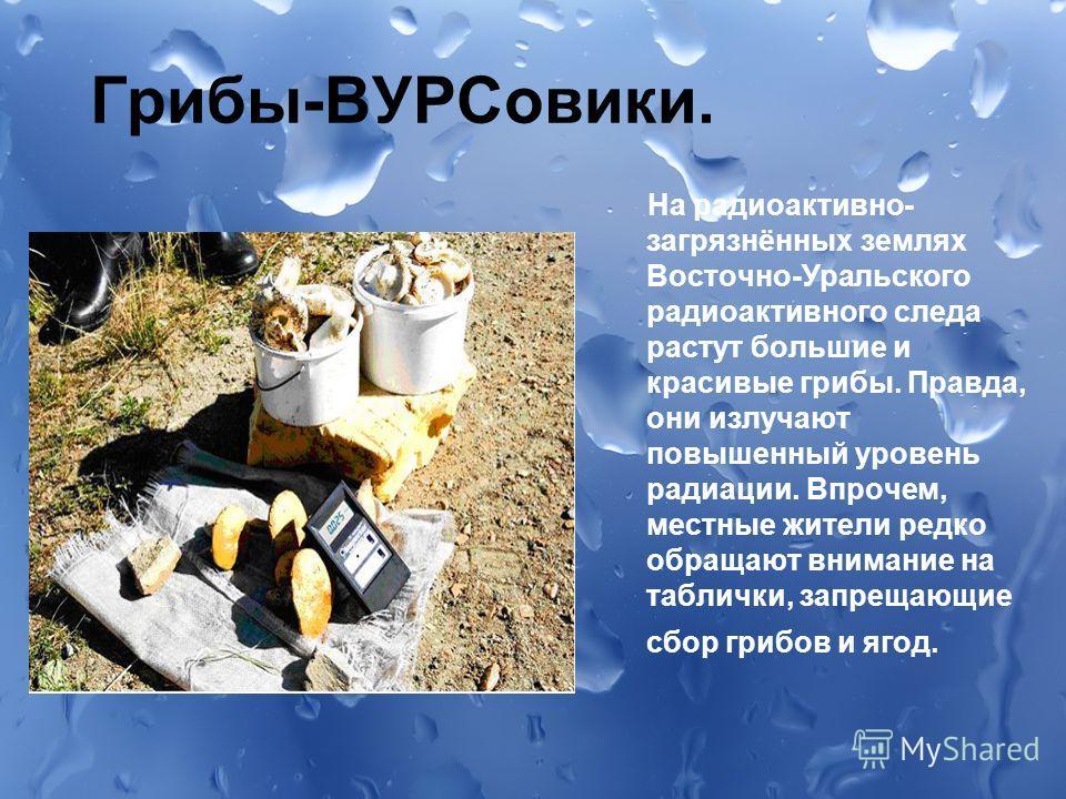Грибы-ВУРСовики. На радиоактивно- загрязнённых землях Восточно-Уральского радиоактивного следа растут большие и красивые грибы. Правда, они излучают повышенный уровень радиации. Впрочем, местные жители редко обращают внимание на таблички, запрещающие