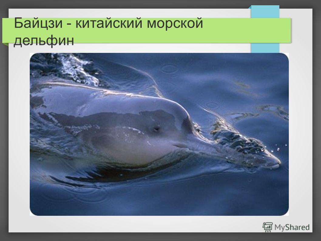 Байцзи - китайский морской дельфин