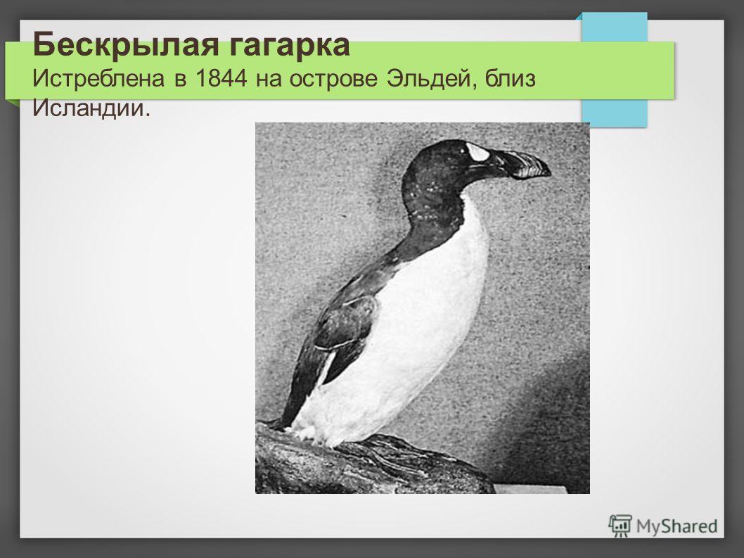 Бескрылая гагарка Истреблена в 1844 на острове Эльдей, близ Исландии.