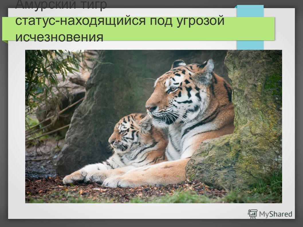 Амурский тигр статус-находящийся под угрозой исчезновения