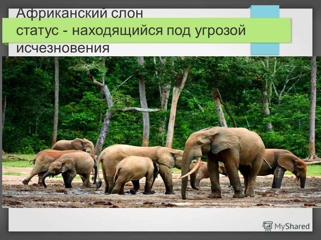 Африканский слон статус - находящийся под угрозой исчезновения