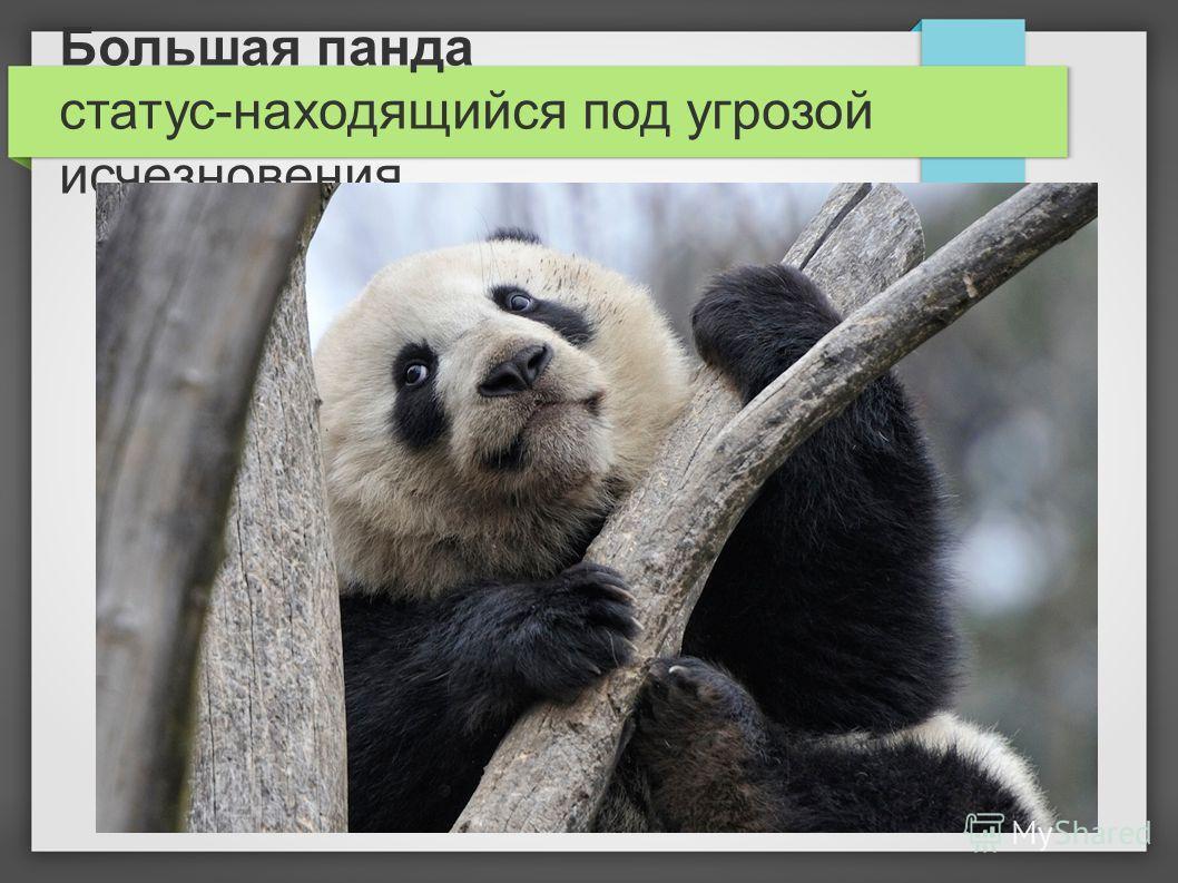 Большая панда статус-находящийся под угрозой исчезновения