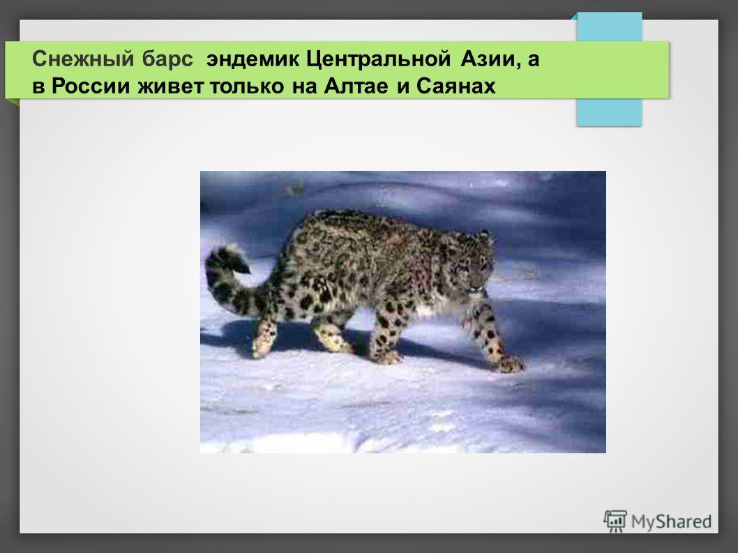 Снежный барс эндемик Центральной Азии, а в России живет только на Алтае и Саянах