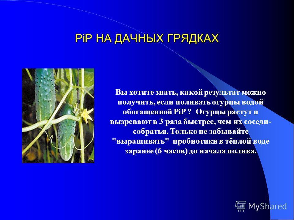 PiP НА ДАЧНЫХ ГРЯДКАХ Вы хотите знать, какой результат можно получить, если поливать огурцы водой обогащенной PiP ? Огурцы растут и вызревают в 3 раза быстрее, чем их соседи- собратья. Только не забывайте