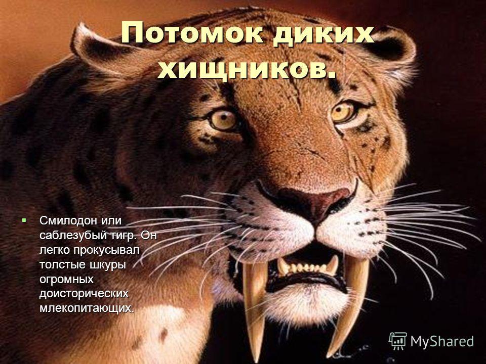 Потомок диких хищников. Смилодон или саблезубый тигр. Он легко прокусывал толстые шкуры огромных доисторических млекопитающих. Смилодон или саблезубый тигр. Он легко прокусывал толстые шкуры огромных доисторических млекопитающих.
