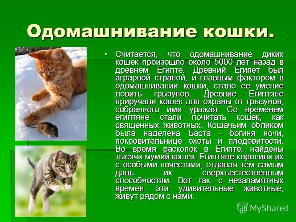 Одомашнивание кошки. Считается, что одомашнивание диких кошек произошло около 5000 лет назад в древнем Египте. Древний Египет был аграрной страной, и главным фактором в одомашнивании кошки, стало ее умение ловить грызунов. Древние Египтяне приручали