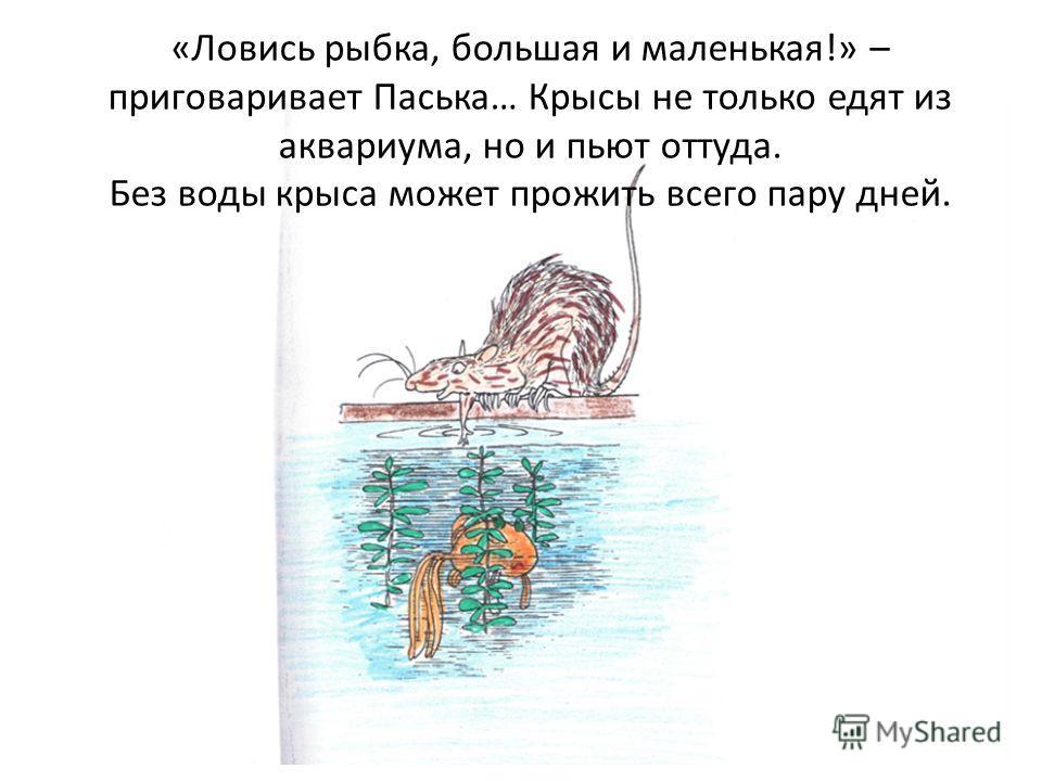 «Ловись рыбка, большая и маленькая!» – приговаривает Паська… Крысы не только едят из аквариума, но и пьют оттуда. Без воды крыса может прожить всего пару дней.