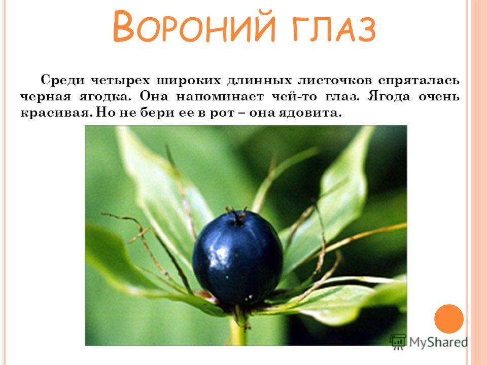 Среди четырех широких длинных листочков спряталась черная ягодка. Она напоминает чей-то глаз. Ягода очень красивая. Но не бери ее в рот – она ядовита. В ОРОНИЙ ГЛАЗ