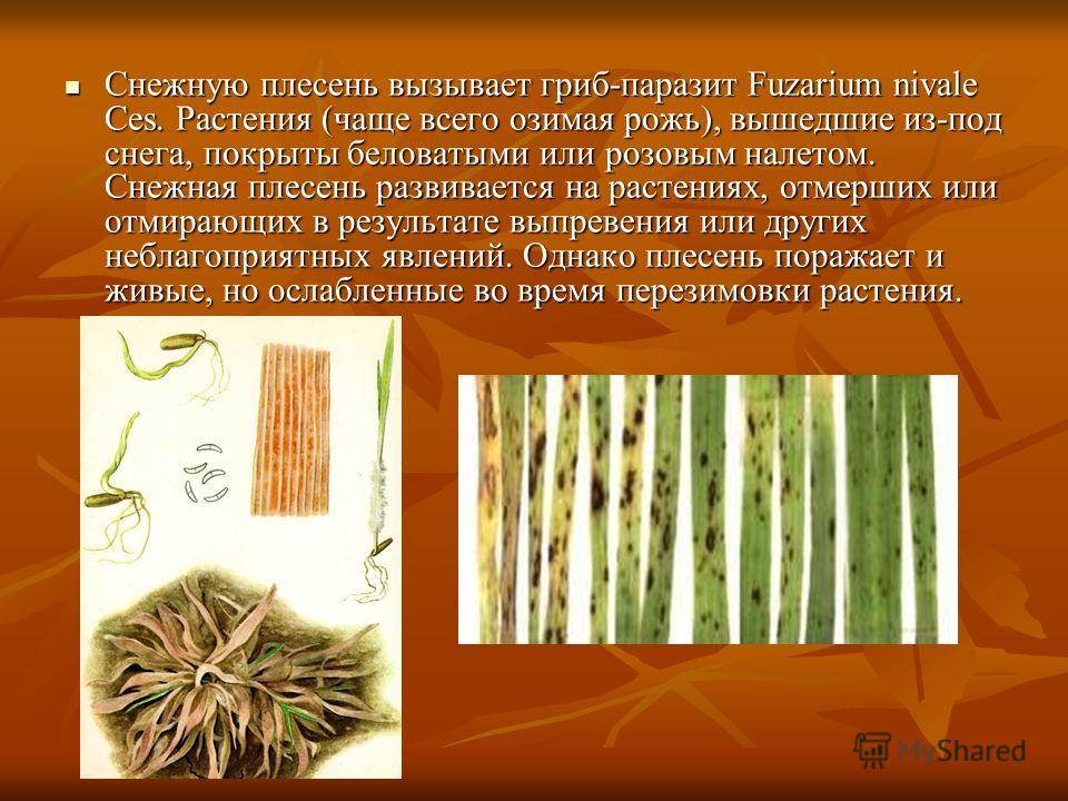 Снежную плесень вызывает гриб-паразит Fuzarium nivale Ces. Растения (чаще всего озимая рожь), вышедшие из-под снега, покрыты беловатыми или розовым налетом. Снежная плесень развивается на растениях, отмерших или отмирающих в результате выпревения или