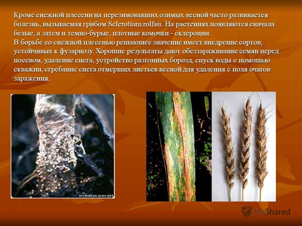 Кроме снежной плесени на перезимовавших озимых весной часто развивается болезнь, вызываемая грибом Sclerotium rolfsii. На растениях появляются сначала белые, а затем и темно-бурые, плотные комочки - склероции. В борьбе со снежной плесенью решающее зн