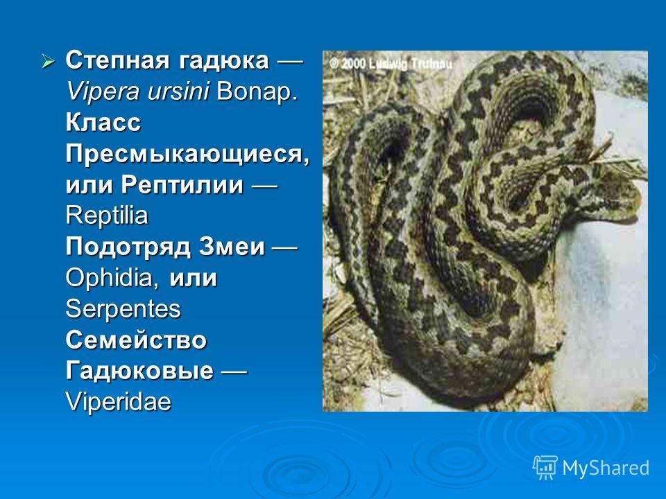 Степная гадюка Vipera ursini Bonap. Класс Пресмыкающиеся, или Рептилии Reptilia Подотряд Змеи Ophidia, или Serpentes Семейство Гадюковые Viperidae Степная гадюка Vipera ursini Bonap. Класс Пресмыкающиеся, или Рептилии Reptilia Подотряд Змеи Ophidia,