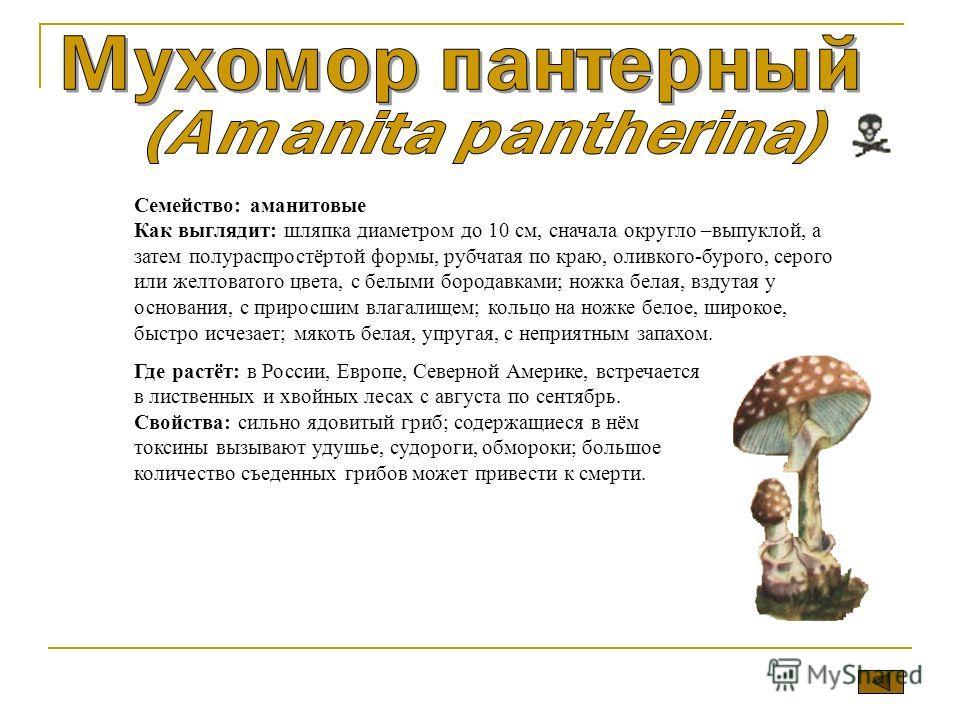 Семейство: аманитовые Как выглядит: шляпка диаметром до 10 см, сначала округло –выпуклой, а затем полураспростёртой формы, рубчатая по краю, оливково-бурого, серого или желтоватого цвета, с белыми бородавками; ножка белая, вздутая у основания, с прир