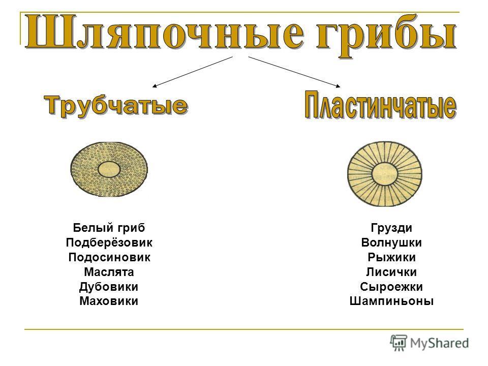 Белый гриб Подберёзовик Подосиновик Маслята Дубовики Маховики Грузди Волнушки Рыжики Лисички Сыроежки Шампиньоны